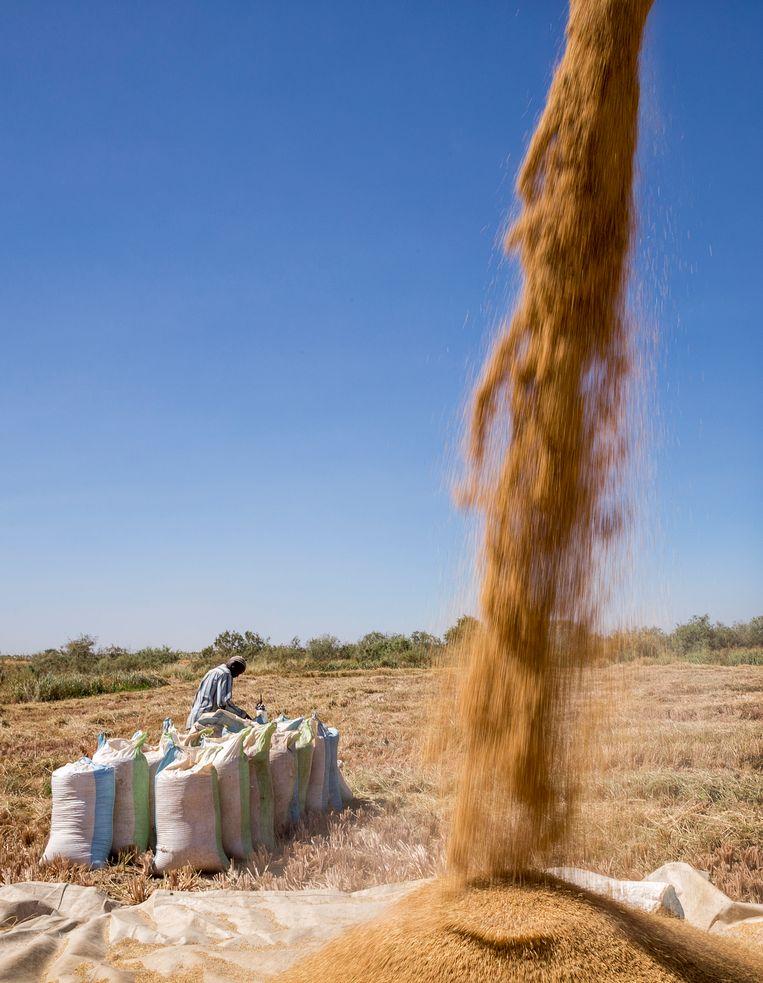 Op een dekzeil wordt de eerste lading rijst uitgespuugd, even later de tweede... en de volgende. Beeld Sven Torfinn