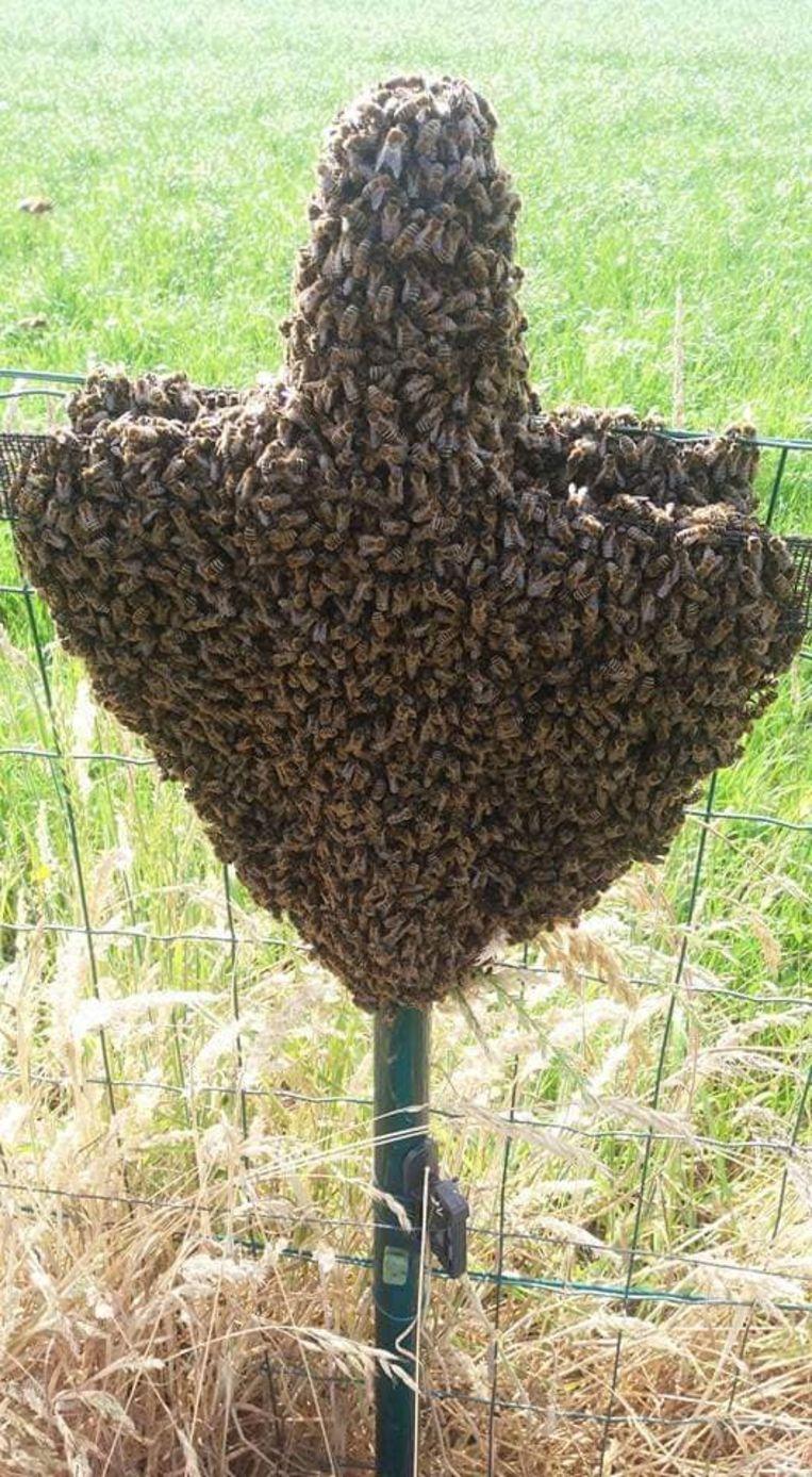 Geen wespennest, maar een bijenzwerm in een tuin.