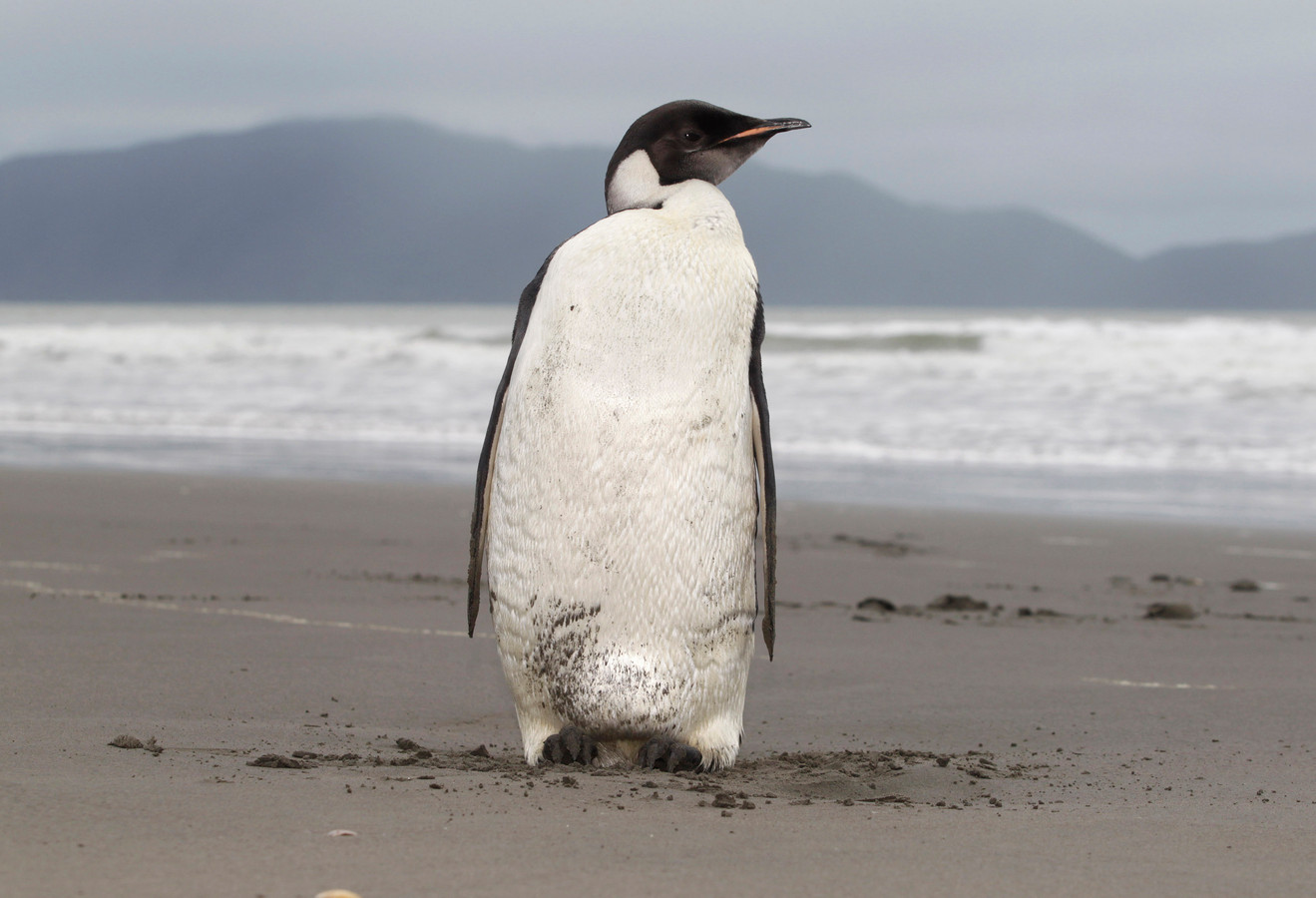 Een keizerspinguïn gefotografeerd in Nieuw-Zeeland.