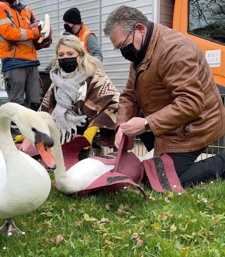 Zij proeven al van de vrijheid: 88 Brugse zwanen na vijf maanden 'quarantaine' terug op de Brugse reien