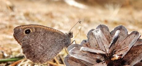 Steeds minder vlinders (en dus insecten) in Nederland: 'Echt dramatisch'