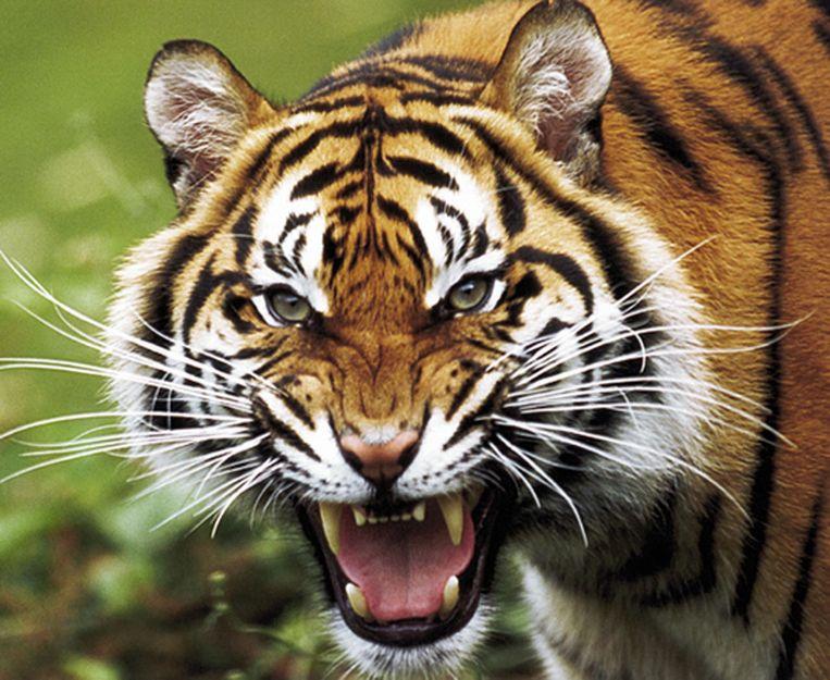 Omdat het met de dna-database mogelijk is om verwantschappen tussen de verschillende dieren in kaart te brengen, is het ook mogelijk om te kijken of je individuele tijgers zou moeten overplaatsen om inteelt te voorkomen. Beeld afp