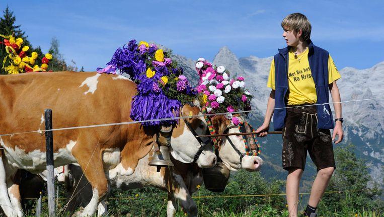 Een jongen begeleidt gedecoreerde koeien door de Oostenrijkse bergen nabij St. Ulrich im Pillerseetal. Beeld EPA