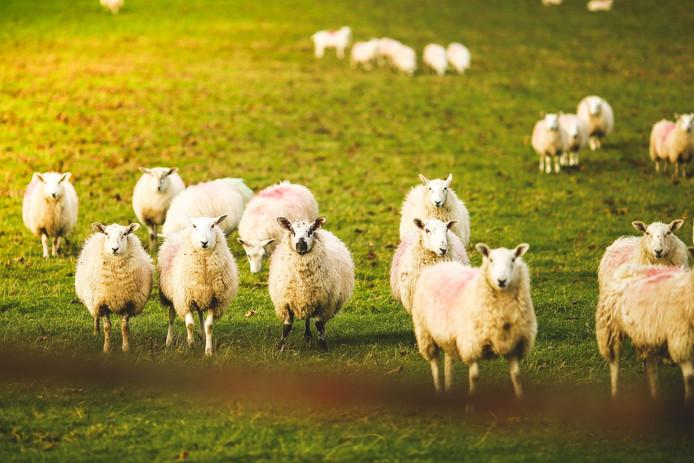 """Un mouton """"confus et hébété"""" a même été renversé alors qu'il marchait au beau milieu de la route. (illustration)"""