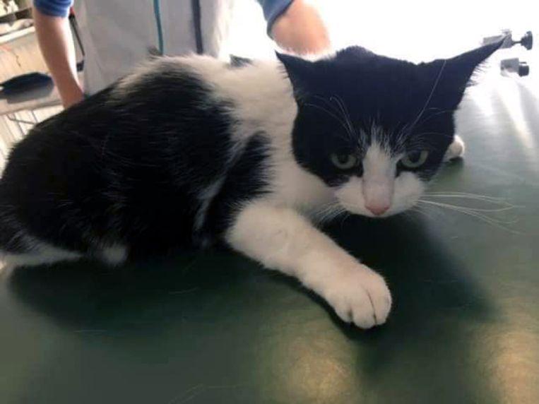 De geredde kat Jeanny op bezoek bij de dierenarts.