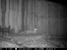 Boommarters en eekhoorns gebruiken veilig ecoduct over N225 wel, als de mens er maar wegblijft