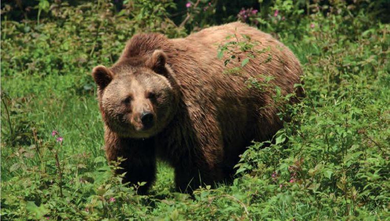 Een wilde bruine beer. Beeld Lutra