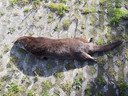 De in mei 2019 doodgereden otter bij Lage Zwaluwe had bijna het natuurgebied De Biesbosch bereikt.