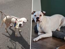 Beelden van graatmagere bulldogs uit Oldebroek schokten velen: maar hoe is het nu met de honden?