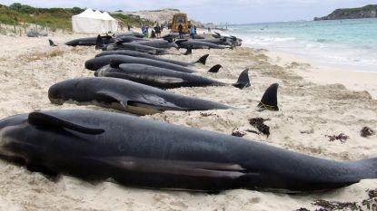 School van 150 walvissen strandt in Australische baai