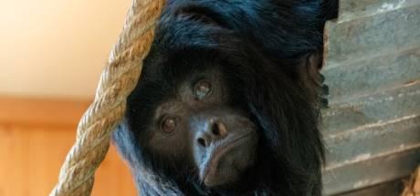 Drie zwarte brulapen nieuw in ZooParc Overloon