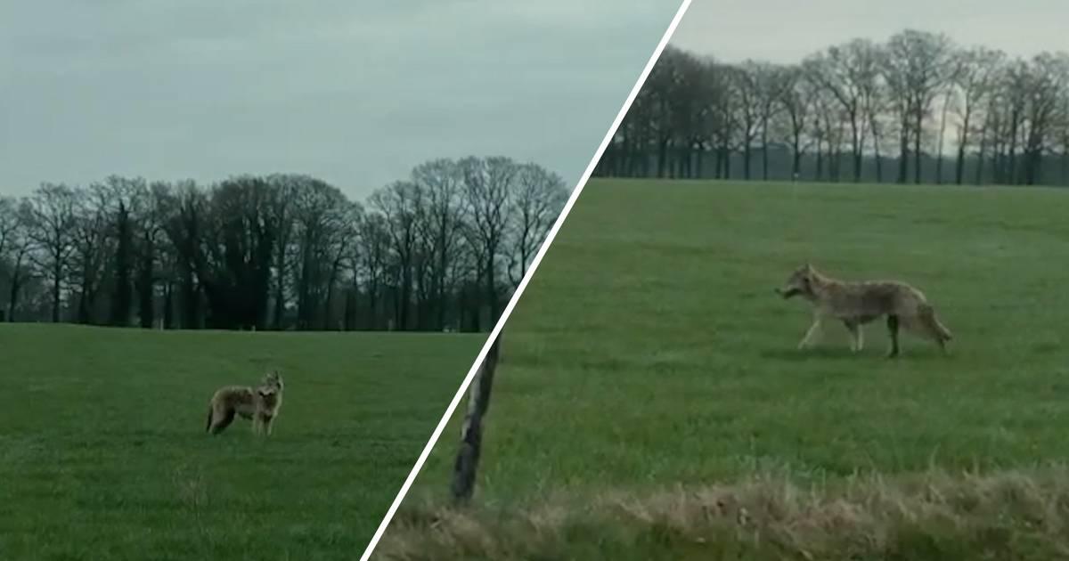 Unieke beelden: wolf slentert door Twente en steekt N736 over