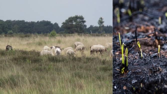 """GroenRand ijvert ervoor snel schapen in te zetten op Groot Schietveld: """"Door grassen zou heide geen kans maken"""""""