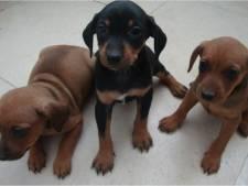 Politie krijgt 'enkele tips' na diefstal van tien pups en dood hond Luna (3) in Beers