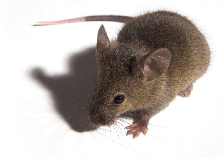 Pijnreceptoren blokkeren bij muizen verlengt hun levensduur en geeft hen een jeugdiger metabolisme.