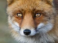 'Zeeland moet keuze maken: willen we wel of geen vossen?'