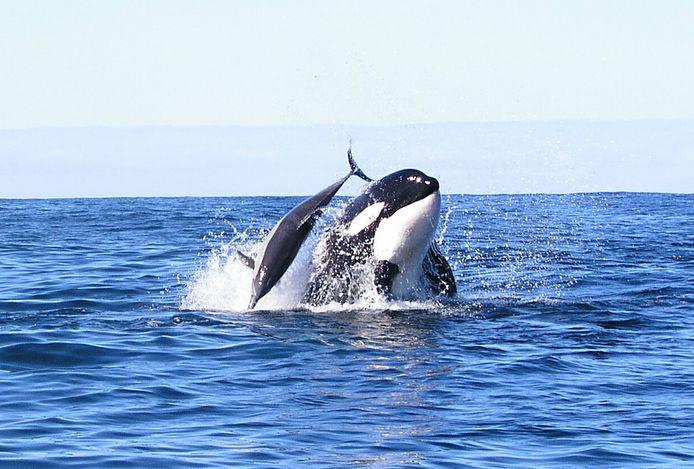 Een orka maakt jacht op een dolfijn.