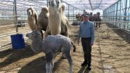 """Wit kamelenveulen geboren in Nevele: """"We zoeken nog een leuke naam"""""""