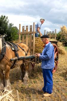 Ouderwets oogsten met zicht en pikhaak in Gemert