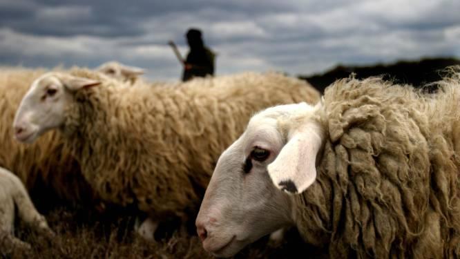 WVI zoekt schapen voor begrazing bedrijvenpark Krommebeek