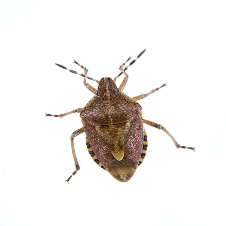 Brown shield bug isolated on a white background insecten tellen Beeld