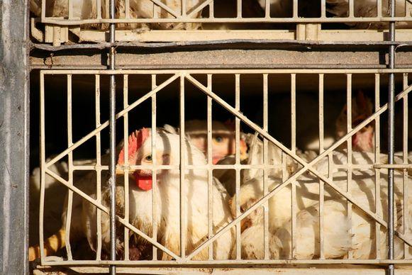 Illustratiebeeld - Levende dieren kunnen niet verkocht worden op de wekelijkse markt, vinden N-VA-schepenen Brigitte Vanhoutte en Aaron Demeulemeester.