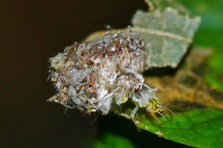 Larve van een gaasvlieg gecamoufleerd met restanten prooi, vooral bladluizen. Beeld Aglaia Bouma