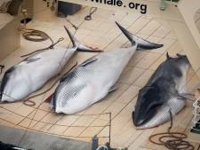 Sea Shepherd rattrape des baleiniers japonais