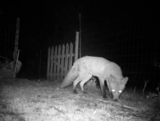 Wilde vos ongewilde gast in Zoo van Antwerpen: flamingo's krijgen extra bescherming