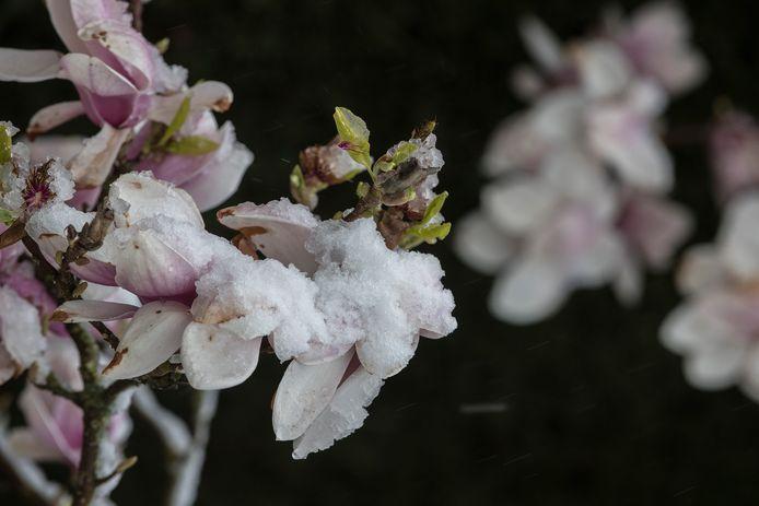 Sneeuw op de bloesem in de Betuwe.