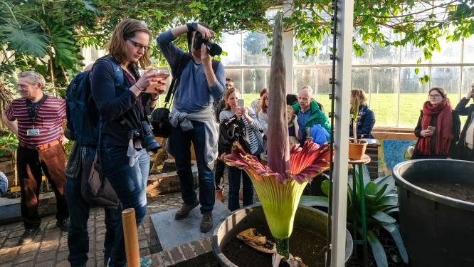 Heuglijk nieuws uit Plantentuin: weer stinkende bloei op komst