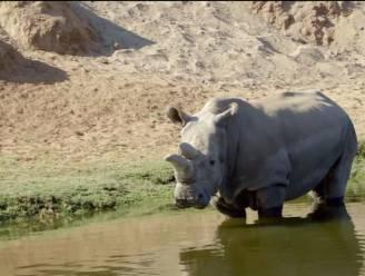 Witte neushoorns bijna uitgestorven