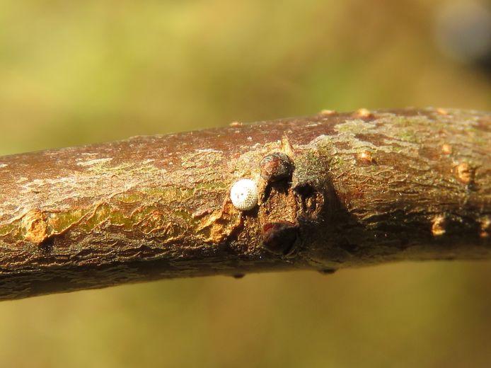 Op twee plaatsen werden eitjes van de Sleedoornpage ontdekt.