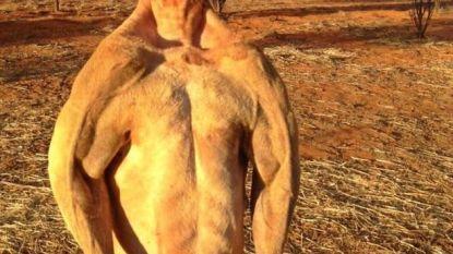 'Schwarzenegger'-kangoeroe op 12-jarige leeftijd overleden