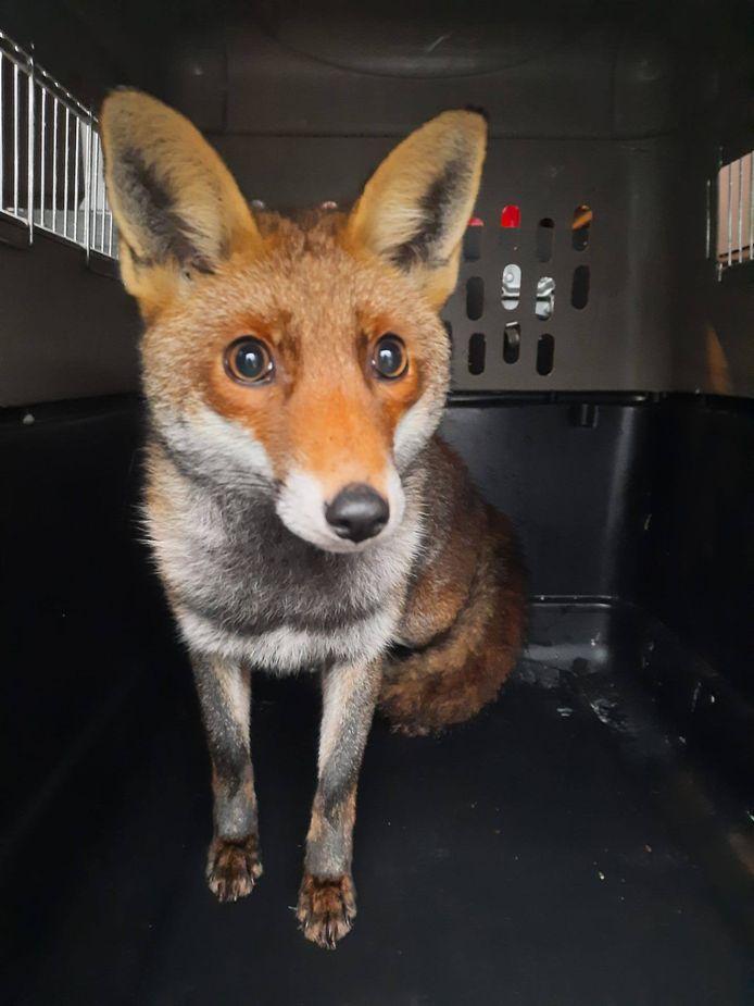 De vos zat 8 jaar opgesloten in een garage.