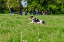 Ook een hondje zoekt ijverig mee naar reekalfjes.