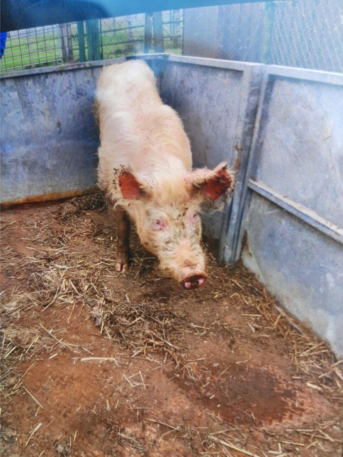 Het loslopend varken werd gevangen door politie en brandweer en met een trailer weggebracht.