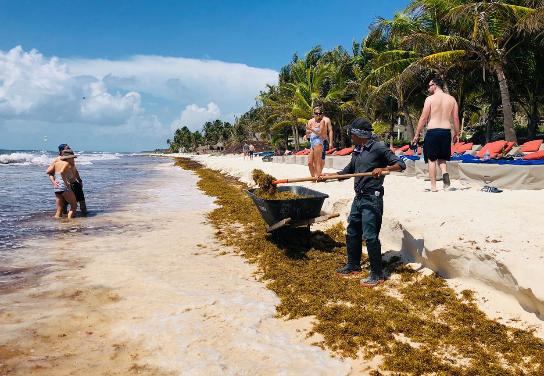 Het opruimen van het zeewier gebeurt, zoals hier op het strand van de Mexicaanse badplaats Tulum, vooralsnog provisorisch. Beeld AFP