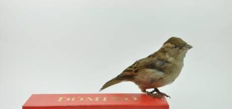 Aanwinst voor tentoonstelling van Natuurhistorisch Museum Rotterdam: de Lijmmuis