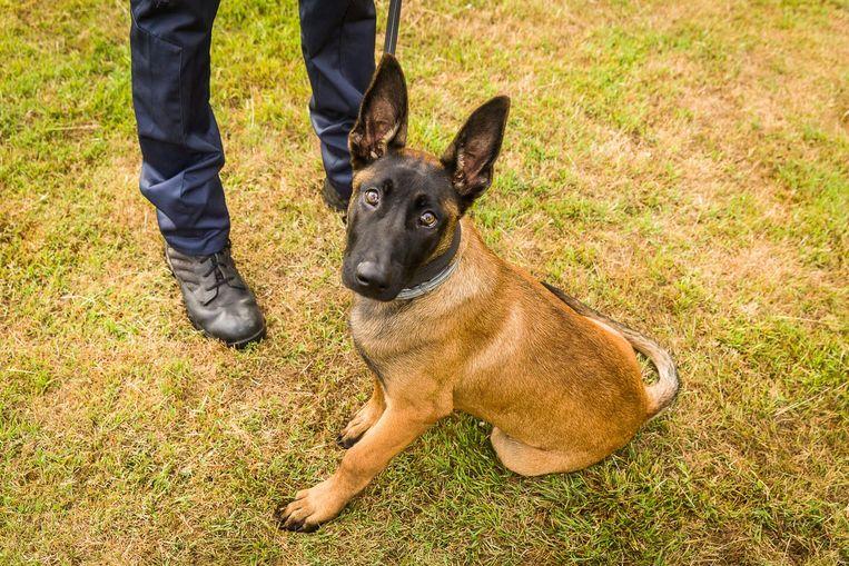 Wolf is nu nog een speelse Mechelse herder van vier maanden, maar hij wordt stilaan opgeleid tot echte politiehond.