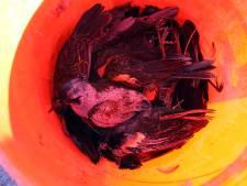 Les milliers d'oiseaux tombés sont morts de peur
