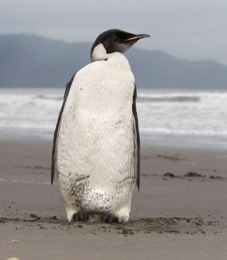 64 Afrikaanse pinguïns gedood door zwerm bijen
