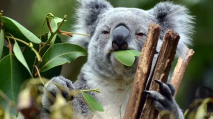 Australiërs vrezen voor de levens van honderden koala's na verwoestende bosbrand