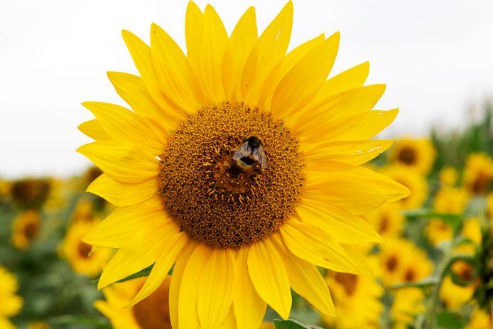 Met bloemenlinten en ecologisch maaibeheer zorgt Enschede voor betere leefomgeving voor bijen.