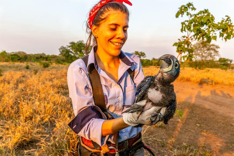 Een ara-kuiken wordt bestudeerd. Beeld Noel van Bemmel