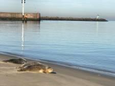 'Laat de zeehonden op Scheveningen met rust'
