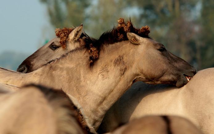 Konikpaarden poetsen elkaar.