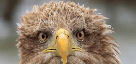 Grootste roofvogel van Europa heeft jonkies gekregen in de Hoeksche Waard: 'Maar we juichen nog niet!'