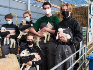 """Vijfling schapen geboren in stal PITO: """"Uniek dat leerlingen hebben kunnen assisteren bij bevalling"""""""