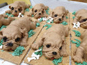 Deze schattige puppy's zijn om op te eten